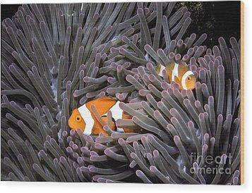 Orange Clownfish In An Anemone Wood Print by Greg Dimijian