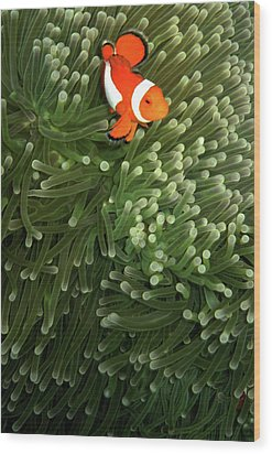 Orange Fish With Yellow Stripe Wood Print by Perry L Aragon
