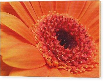 Orange Gerbera Close Up Wood Print by Ken Brannen