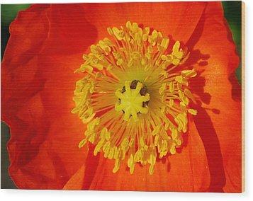 Orange Icelandic Poppy Wood Print by Marilynne Bull