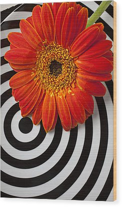 Orange Mum With Circles Wood Print by Garry Gay
