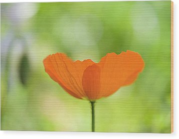 Orange Poppie Wood Print