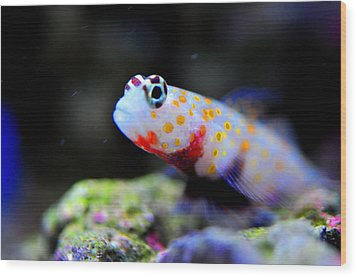 Orange Spotted Shrimp Goby Wood Print by Puzzles Shum