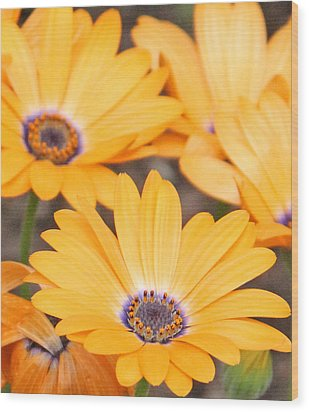 Orange With Purple Center Wood Print by Becky Lodes