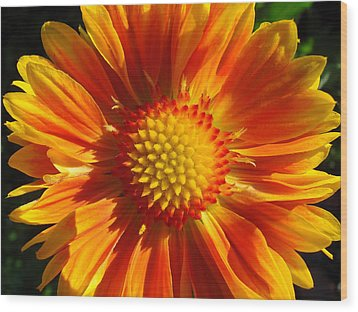Wood Print featuring the photograph Oranges And Lemons Gaillardia  by Ronda Broatch
