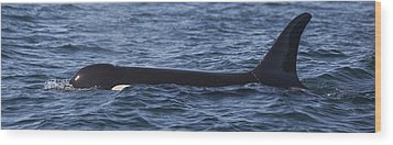Orca Orcinus Orca Surfacing Showing Wood Print by Matthias Breiter