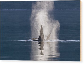 Orca Pair Spouting Southeast Alaska Wood Print by Flip Nicklin
