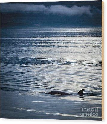 Orca Surfacing Wood Print by Darcy Michaelchuk