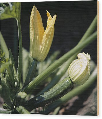Organic Courgettes Wood Print by Sheila Terry