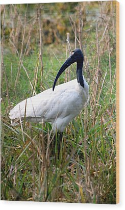 Wood Print featuring the photograph Oriental White Ibis by Pravine Chester