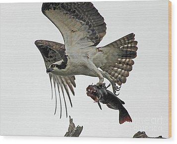 Osprey - Catfish Wood Print by Larry Nieland