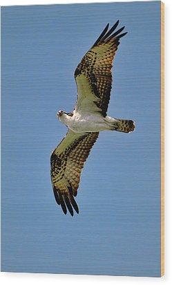 Osprey Above Wood Print