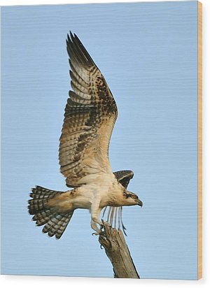 Wood Print featuring the photograph Osprey After Flight by Rick Frost