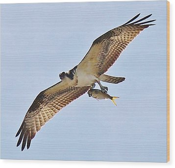 Osprey Carrying His Lunch Wood Print by Paulette Thomas