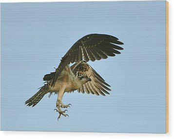 Wood Print featuring the photograph Osprey In Flight by Rick Frost
