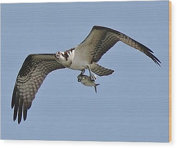 Osprey With The Catch Of The Day Wood Print by Paulette Thomas