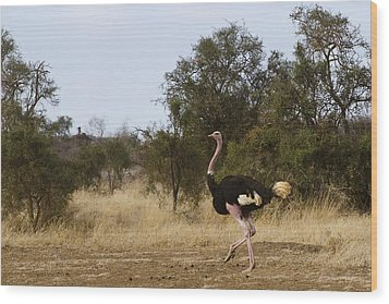 Ostrich Prance Wood Print by Marion McCristall