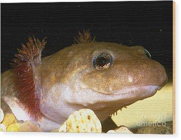 Pacific Giant Salamander Larva Wood Print by Dante Fenolio