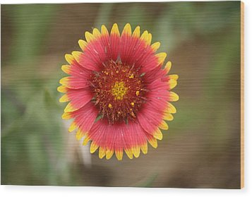 Painted Blanket Flower Wood Print