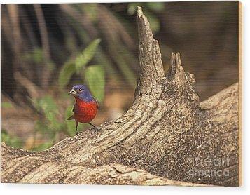Painted Bunting On Log Wood Print by Anne Rodkin