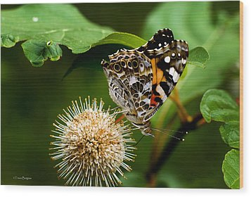 Painted Lady On Button Bush Wood Print by Travis Burgess