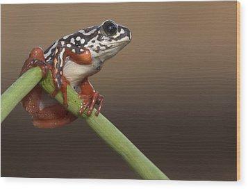 Painted Reed Frog Botswana Wood Print by Piotr Naskrecki