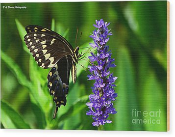 Palamedes Swallowtail Butterfly Wood Print by Barbara Bowen