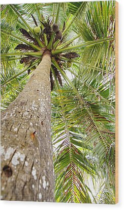 Palm Tree From Below With Coconut Fruit Wood Print by Anya Brewley schultheiss