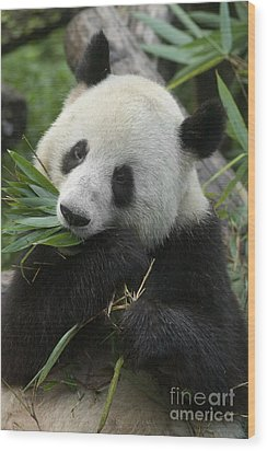 Wood Print featuring the photograph Panda Having Lunch by Craig Lovell