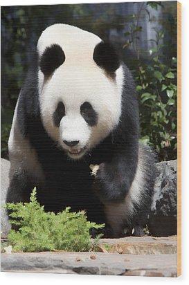 Panda Wood Print by Paul Svensen