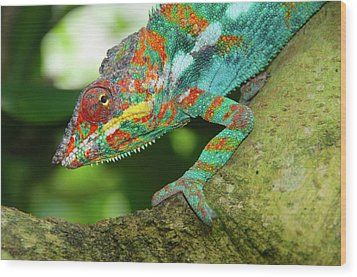 Panther Chameleon Wood Print by Dave Stamboulis Travel Photography