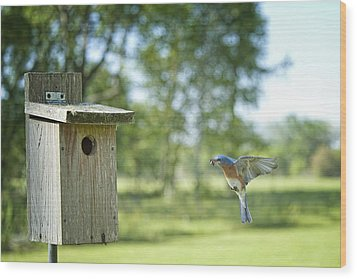 Papa Bluebird Bringing Supper Home Wood Print by Bonnie Barry