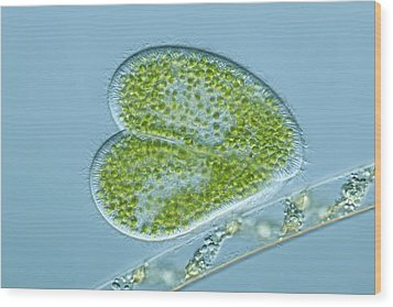 Paramecium Protozoa, Light Micrograph Wood Print by Frank Fox