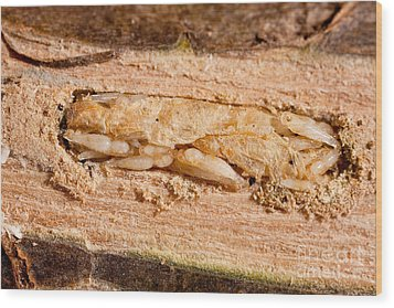 Parasitized Ash Borer Larva Wood Print by Science Source