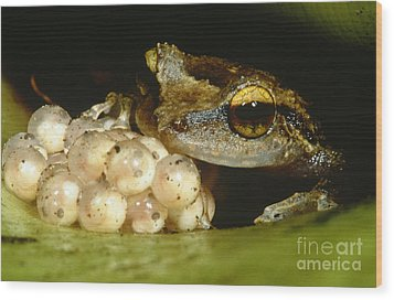 Parental Care By Tree Frog Wood Print by Dante Fenolio