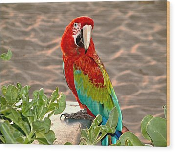 Parrot Sunning On The Beach Wood Print by Rob Green