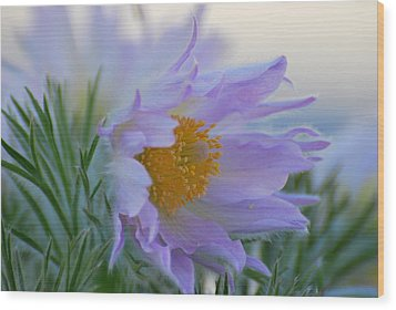 Pasque Flower In The Morning Wood Print by Anne Gordon