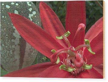 Passion Flower Blossom Costa Rica Wood Print by Piotr Naskrecki