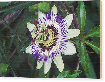 Passion Flower (passiflora Sp.) Wood Print by Kaj R. Svensson