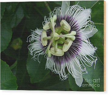 Passion Fruit Flower Wood Print by Mary Deal