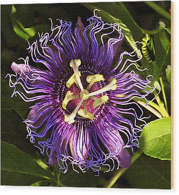 Passionflower Wood Print by David Lee Thompson
