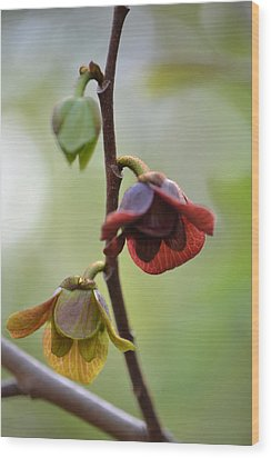 Wood Print featuring the photograph Paw-paw Flowers by JD Grimes