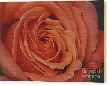 Peach Rose Close-up Wood Print