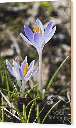 Peaking Spring Wood Print