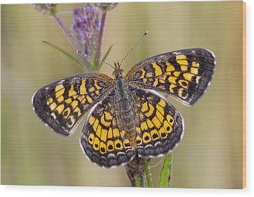 Pearl Crescent Butterfly On Wildflowers Wood Print by Bonnie Barry