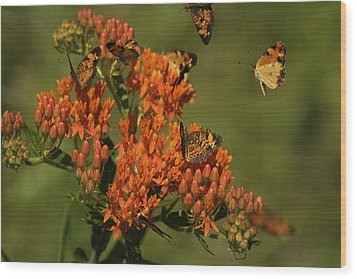 Wood Print featuring the photograph Pearly Crescentpot Butterflies Landing On Butterfly Milkweed by Daniel Reed