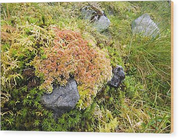 Peat Moss (sphagnum Sp.) Wood Print by Duncan Shaw