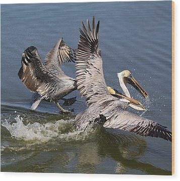 Pelican Fight Wood Print by Paulette Thomas