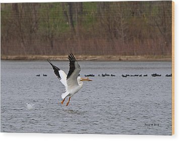 Pelican Take-off Wood Print by Stephen  Johnson