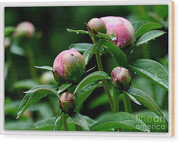 Wood Print featuring the photograph Peony Buds by Tanya  Searcy